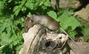 Wild Field Mouse Diet