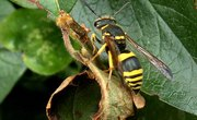 Identification of Wasps