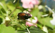 The Effects of Japanese Beetles on the Environment