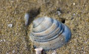 How Do Clams Produce Their Shells?