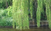 The Root System of a Weeping Willow