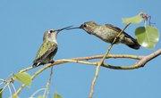 Hummingbird Nesting Habits