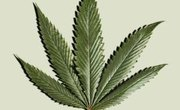 What Plants Have THC in Them?