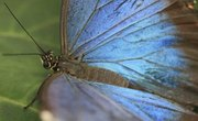 Facts for Kids on the Blue Morpho Butterfly
