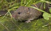 How to Identify Shrews, Moles & Voles