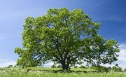 How Many Types of Oak Trees Are There?