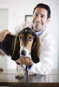 Un grado en la ciencia de los animales puede proporcionar un trampolín educativo para una carrera en la medicina veterinaria.
