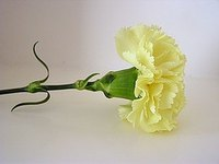 Make a Carnation Boutonniere