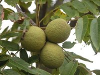 Green Black Walnuts