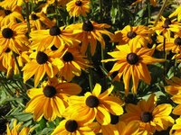 Dry Black Eyed Susans