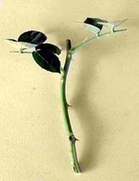 Taking rose cuttings is the best way to grow new plants.