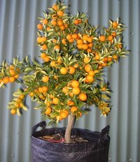 Prune Dwarf Fruit Trees