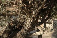 Twisted Olive Tree Branches