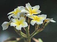 White and yellow frangipani