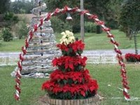 Poinsettia trees make good outdoor decorations as well if the climate is appropriate.