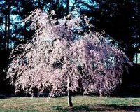About Weeping Higan Cherry Trees