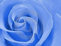 Blue roses are possible by altering the flavonoids