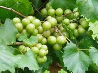 Grow Scuppernong
