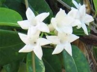 Grow Stephanotis From Seeds