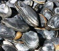 Soft shell clams or steamers