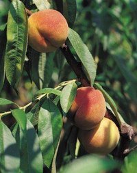 How Long Do Peach Trees Live?