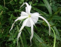 Facts on the Spider Lily