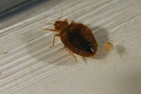 How to kill Bedbugs in your home can be quite hard.