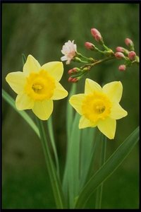 caring for daffodils indoors