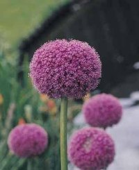 Spanish Allium