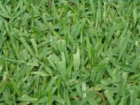 Kill Bermuda Grass in St Augustine Grass