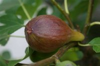 Mature Fig Tree Fruit