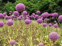 Allium Giganteum in Bloom