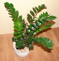 The eternity plant is also known as the ZZ plant, for its Latin name, zamioculcas zamiflora.