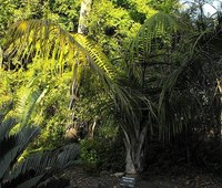 Ravenea rivularis, also known as the majestic palm.