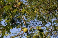 Mature Black Walnut Tree with Fruit