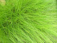 Types of Ornamental Grasses