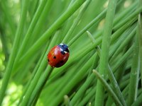 There are about 4,300 kinds of ladybugs in the world.