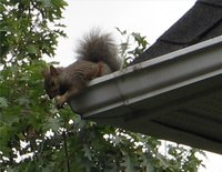 Keep squirrels from entering your attic.
