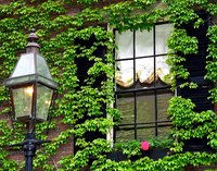 Boston ivy growing on a house.