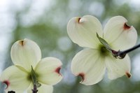 Dogwood blooms are actually modified leaves called bracts.