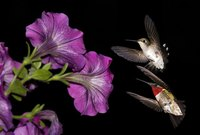 Hummingbirds enjoy colorful flowers, such as petunias.