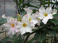 Adenium prefers lightweight, coarse soil.