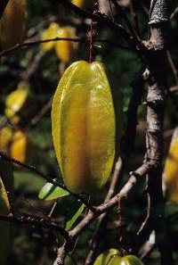 Carambola, or starfruit, is a subtropical fruit that thrives in South Florida.
