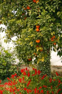 Citrus trees require warm weather and plenty of water.