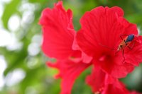 With proper watering, the hibiscus can produce eye-catching blossoms.