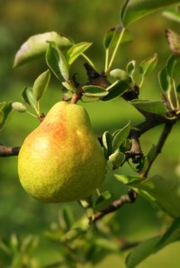 Wild pears are sometimes difficult to tell from cultivated pears.