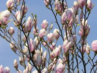 Many varieties of magnolia thrive in Western Washington.