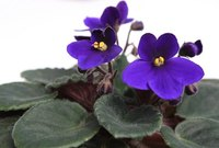 African violets do well in terrariums.