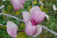 Magnolias may be white, pink, red or purple.