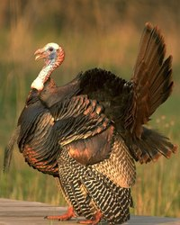 Turkeys were a popular food for Europeans ever since early American explorers returned with some of the birds.
